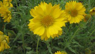 Coreopsis grandiflora 'Sun Ray'