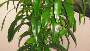 Dracaena deremensis 'Janet Craig'