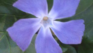 blue periwinkle (Vinca Major)