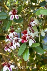 Pineapple guava (Feijoa sellowiana), Photo courtesy of Monrovia Nursery