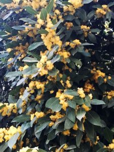 Sweet bay (Laurus nobilis)